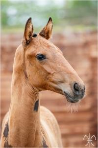 Photo cheval a vendre QUININE DE LA GESSE